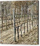 Vineyard In Early Spring Acrylic Print