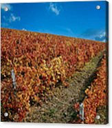 Vineyard In Negotin. Serbia Acrylic Print