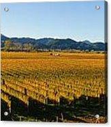 Vineyard In Nz Acrylic Print