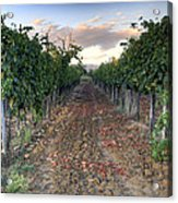 Vineyard In Tuscany Acrylic Print