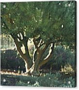 Vineyard Olive Acrylic Print