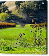 Vineyard Thistles Acrylic Print by CML Brown