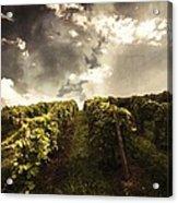 Vineyard Wanderlust Acrylic Print