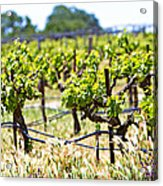 Vineyard With Young Plants Acrylic Print by Susan Schmitz