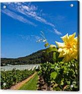 Vineyard's Companion Rose Acrylic Print