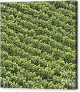 Vinschgau Vineyard Acrylic Print