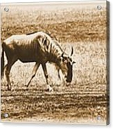Vintage African Safari Wildbeest Acrylic Print