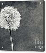 Vintage Allium Flower Acrylic Print