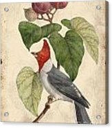 Vintage Bird Study-d Acrylic Print