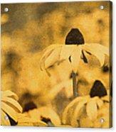 Vintage Black-eyed Susans Acrylic Print