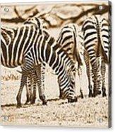 Vintage Zebras Acrylic Print