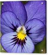 Viola Named Sorbet Blue Heaven Jump-up Acrylic Print by J McCombie