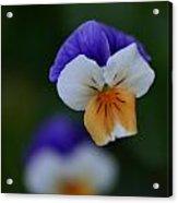 Viola Reflection Acrylic Print