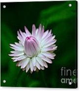 Violet And White Flower Sepals And Bud Acrylic Print