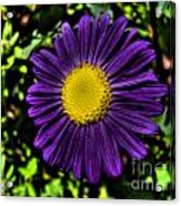 Violet Aster Acrylic Print