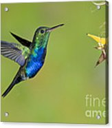 Violet-bellied Hummingbird Acrylic Print