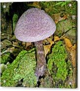 Violet Cortinarious -cortinarious Violaceus Mushroom On Mossy Log Acrylic Print
