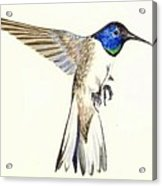 Violet Crowned Hummingbird Acrylic Print