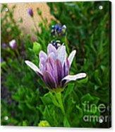Violet Daisy  Oleo Acrylic Print