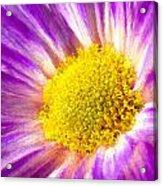 Violet Flower Macro Acrylic Print