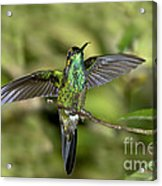 Violet-fronted Brilliant Acrylic Print