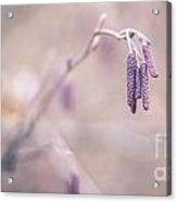 Violet Hazel  Acrylic Print