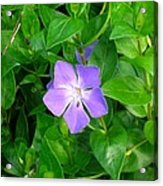 Violet Herbaceous Periwinkle Acrylic Print