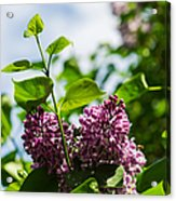 Violet Lilacs And A Bee Acrylic Print