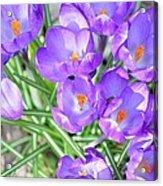 Violet Lilies Acrylic Print