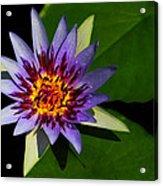 Violet Lily Acrylic Print