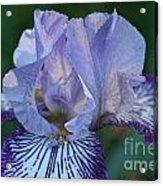 Violet Lines Acrylic Print