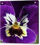 Violet Macro Acrylic Print