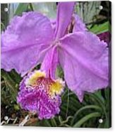 Violet Orchid Acrylic Print