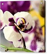 Violet Orchids Brushed With Gold Acrylic Print