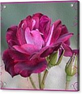 Violet Red Rose Acrylic Print