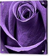 Violet Rose Acrylic Print by Adam Romanowicz