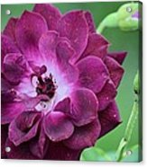 Violet Rose And Buds Acrylic Print