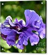 Violet Ruffles Acrylic Print
