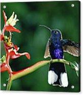 Violet Sabre-wing Hummingbird Acrylic Print