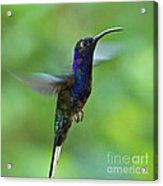 Violet Sabrewing Hummingbird Acrylic Print