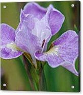 Violet Siberian Iris Acrylic Print