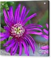 Violet Spring Iv Acrylic Print