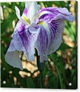 Violet Striped Iris Acrylic Print