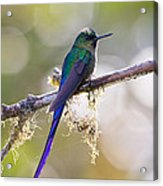 Violet-tailed Sylph Acrylic Print