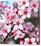 Virginia Cherry Blossom Acrylic Print