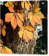 Virginia Creeper Autumn Color Acrylic Print