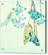 Virginia Creeper Berries Acrylic Print by Theresa Tahara