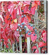 Virginia Creeper Fall Leaves And Berries Acrylic Print