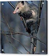 Virginia Opossum Acrylic Print