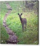 Virginia - Shenandoah National Park - White Tailed Deer Acrylic Print